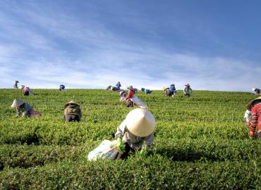 許多農夫在茶園採茶葉